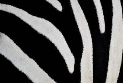 Zebra stripes [Image courtesy of panuruangjan at FreeDigitalPhotos.net]